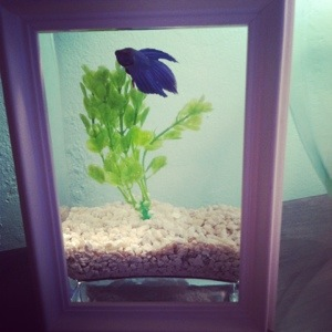 Glam Betta Fish Home